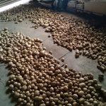 新ジャガイモ収穫